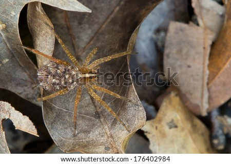 This is a female wolf spider carrying her young on her back.  Carrying the young on her ensure that some of her young survive.  They remain motionless on her back when frightened. - stock photo