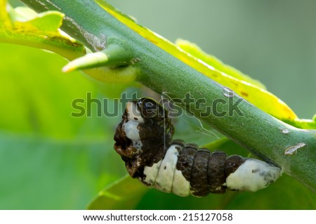 This is a giant swallowtail caterpillar on a citrus leaf that looks like bird droppings pupating - stock photo