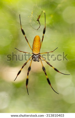 This is a golden orb-web spider (Nephila clavipes) in its web.  The male is much small and is above the female.