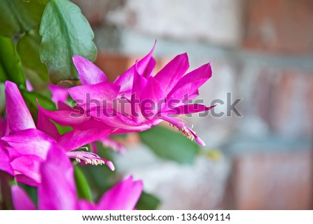 This is a hot pink Christmas cactus blooming, with an out of focus brick wall in the background. - stock photo