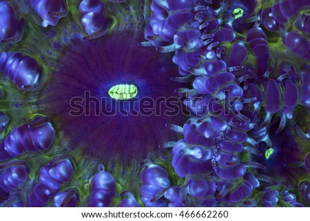 This is a macro photograph of a purple and green cup coral (Blastomussa sp.).