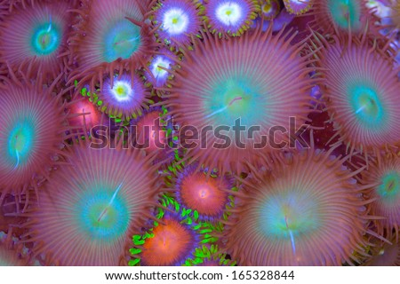 This is a mix of zoanthids polythoa soft corals - stock photo