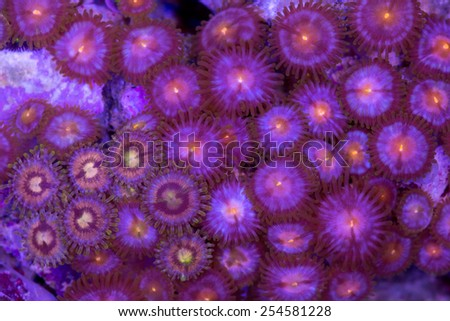 This is a mixture of zoanthids on a rock. - stock photo