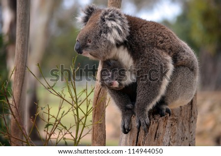 this is a mother koala with her young koala - stock photo