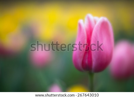 This is a photograph of a lone tulip growing a garden in Asheville, NC. A beautiful place to visit in the spring.  - stock photo