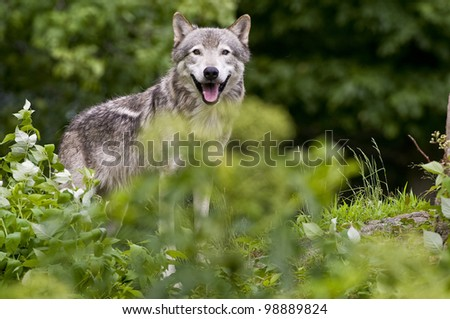 This is a photograph of a Timber Wolf standing behind some green foliage. - stock photo