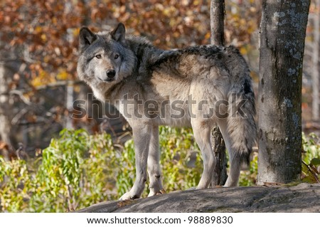 This is a photograph of a Timber Wolf standing on a rock in an autumn scene. - stock photo
