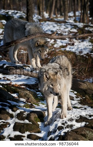 This is a photograph of two Timber Wolves walking along a snow covered rock hill. - stock photo