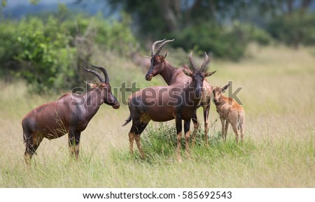 This is a picture a antelope in Africa which call topi. It's a good picture in the soft light.