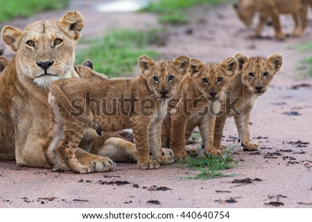 This is a picture of a female of lion and her cubs. It is an excellent illustration in the soft light. It is an excellent illustration which shows wildlife. - stock photo