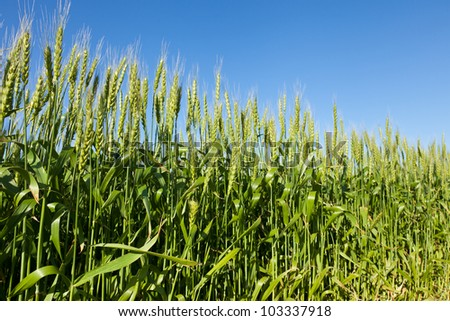 This is a picture of wheat fields in early summer I have taken in May.