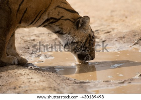 This is a portrait of the Indian tiger which took in natural habitat. Tiger is drinking dirty water from puddle. It is an excellent illustration in the soft light which shows wild life.