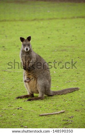 this is a  red necked wallaby with a joey in her pouch - stock photo