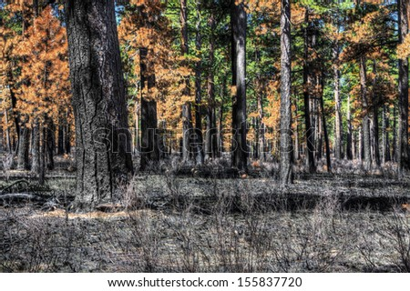This is a result of a forest fire burning the ground vegetation and up the tree trunks. Some trees have survived.  - stock photo