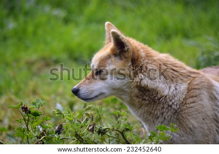 this is a side view of an Australian Golden Dingo - stock photo
