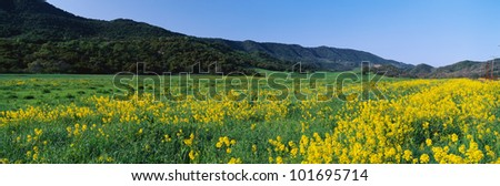 This is a spring field of mustard plants. The flowers are yellow set amongst a green field and the green Topa Topa Mountains in the background. - stock photo