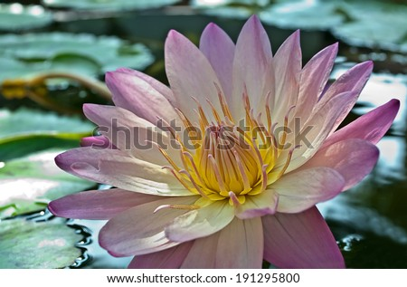 This is a stunning light purple lotus flower with lily pads floating on water nearby.  The flower is open with yellow hues in the center of this gorgeous nature image.
