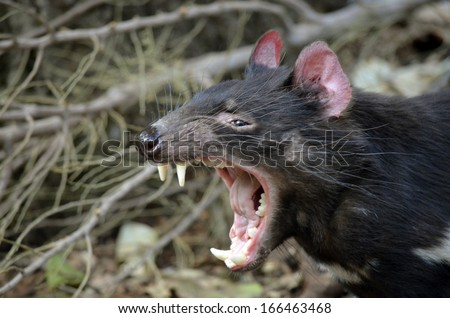this is a Tasmanian devil snarling fiercely - stock photo