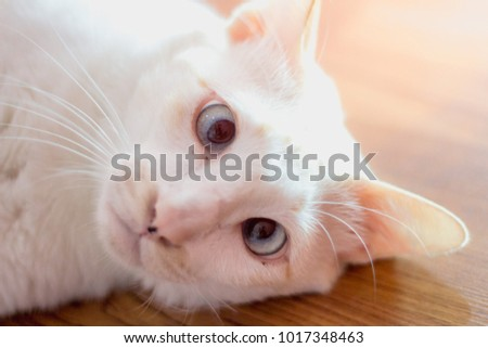 This is a white cat down syndrome. It must be in the home to go out, but it is very lovely.
