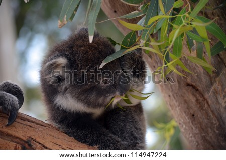 this is a young koala eating eucalyptus leaves