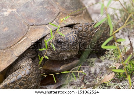This is an adult gopher tortoise in an oak scrub environment - stock photo