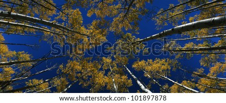 This is an image looking straight up at a group of autumn aspen trees. They are set against a blue sky. - stock photo