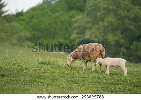 This is an image of mother and baby lambs (Ovis aries) standing on the hillside of a local farm. - stock photo