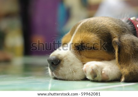 This is Beagle Dog.It name is Milo. - stock photo