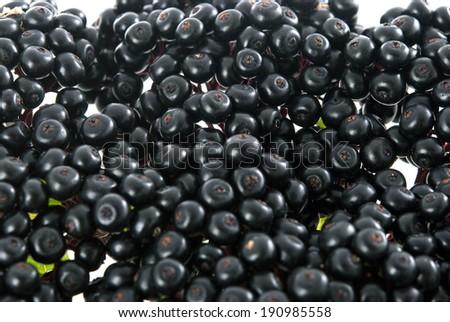 This is elderberry plant. - stock photo