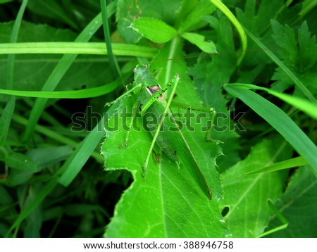 This is green grasshopper in green grass - stock photo