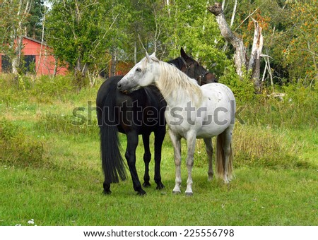 This is love! Thoroughbred mare and stallion ordinary. Gentle courting - stock photo