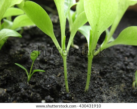 This is spring young sprout of green lettuce - stock photo