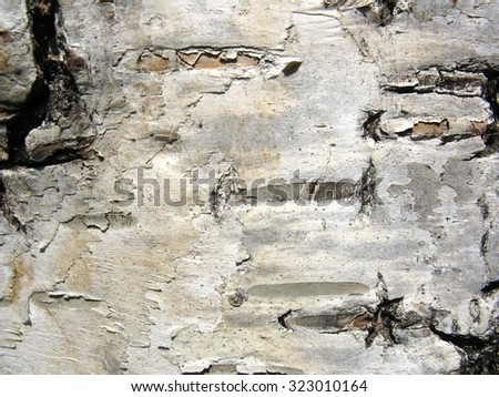 This is structure of  birch bark. Closeup - stock photo
