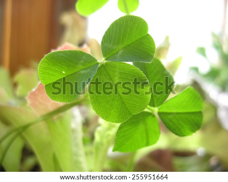 This is structure of green clover leaf. Closeup