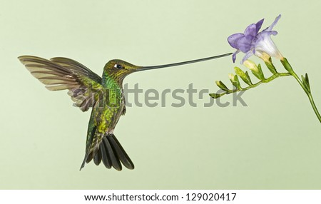 This is sword-billed hummingbird feeding at flower. This hummingbird is from Ecuador. It grooms itself with its feet.