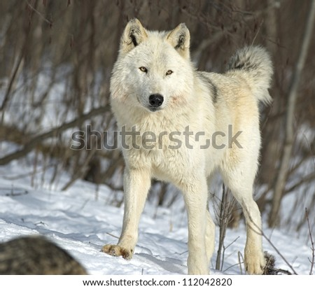 This is the alpha female on a wolf pack in Northern Minnesota - stock photo