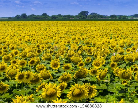 This Kansas Farm Field is filled with a dense crop of bright yellow Sunflowers nearing harvest. - stock photo