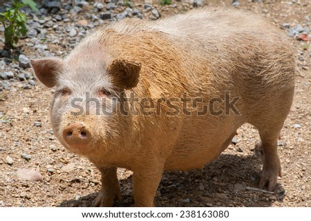 This large pig is happy as it had just rolled in mud to help cool itself off on a hot summer day. - stock photo