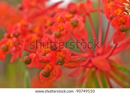 This macro photo is a Euphorbia plant in the variety of Fireglow, a very unique and interesting garden plant that is brilliant with color.  Background intentionally blurred for artistic effect. - stock photo