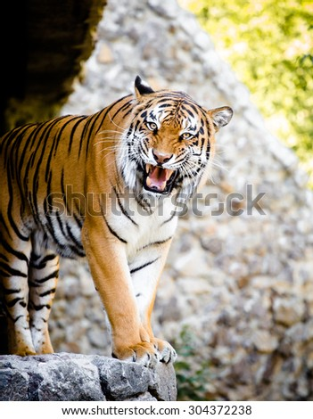 This Malayan Tiger peers through the branches as it stalks another tiger in a local zoo exhibit. The attention is paid to his dangerous teeth. - stock photo