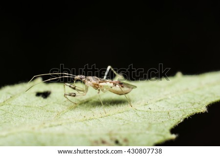 This miniature assassin bug, body length is about 6mm is an ambush predator / Assassin bug / It ambushed its victim by stabbing with their formidable curved proboscis and sucked its body juice - stock photo