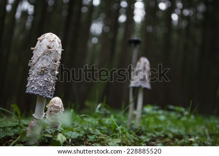 This mushroom is called Coprinus Comatus has a history closely associated with the history of the Second World War in Germany, was used as ink authenticity of documents, is an edible mushroom. - stock photo