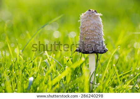 This mushroom is called Coprinus Comatus has a history closely associated with the history of the Second World War in Germany, was used as ink authenticity of documents, is an edible mushroom - stock photo