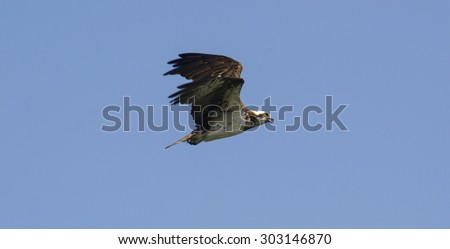 This Osprey is flying over his area on the eternal quest for food. - stock photo