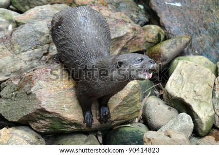 this otter is threatening all the otters on the rockery - stock photo