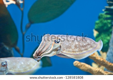 This Pharaoh Cuttlefish is swimming and looking straight into the camera with its curiosity   Very unusual saltwater fish - stock photo
