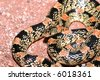 This pretty longnose snake was found crossing a sandy path in southern Arizona. - stock photo