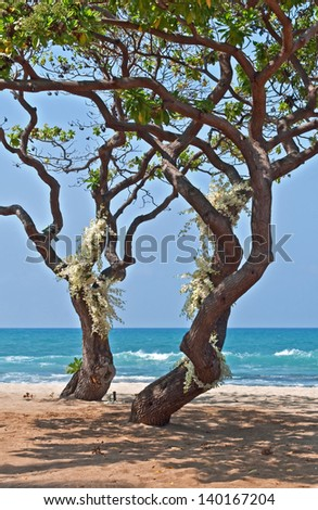 This romantic image is two tropical heliotrope trees with clusters of white orchids growing from the trunks.  The trees are growing on the sandy beach, right near the turquoise blue of the ocean. - stock photo