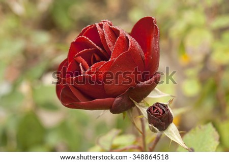 This Rose is call lavaglut, very deep red color, winter time, covered with cold morning dew drops - stock photo