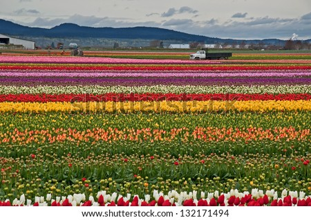 This rural landscape is rows and rows of brilliant colorful spring tulips on farmland with mountains in the distance.  Stunning spring nature image. - stock photo